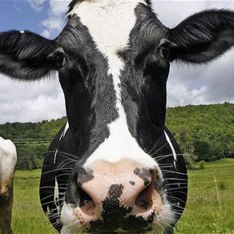 Silver_cow